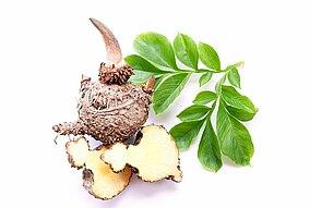 Blätter und Wurzel der Konjakpflanze
