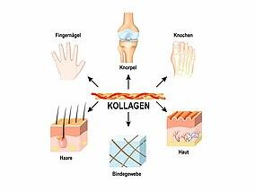 Schaubild Kollagenvorkommen im Körper