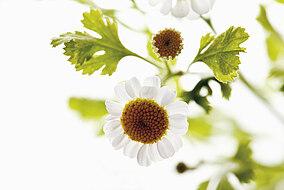 Mutterkraut mit Blüten